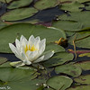 Floating White Water lily