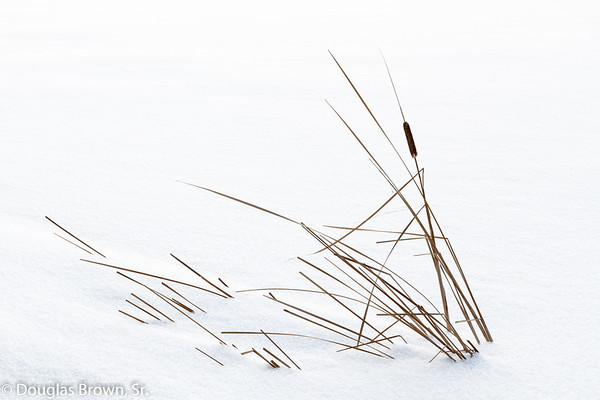 Snowy Cattails