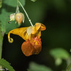 Hanging Jewelweed