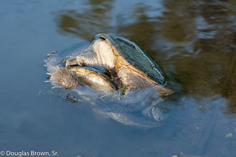 Mating Snappers