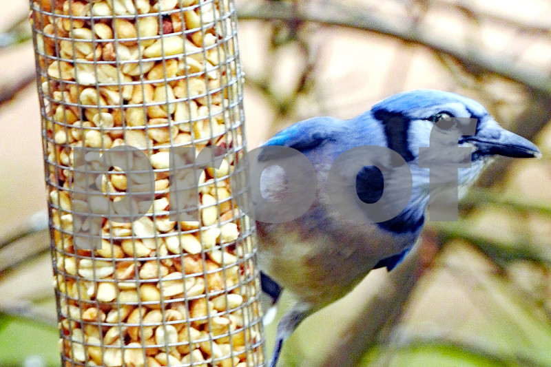 DSCN5704 Mr Jay Like Peanuts PStrand 3-17-18