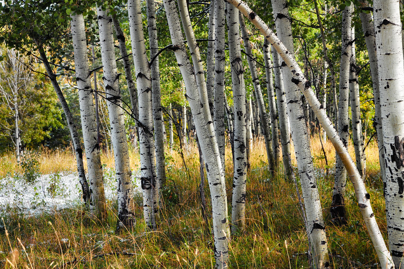 Aspens and a Dusting of Snow
