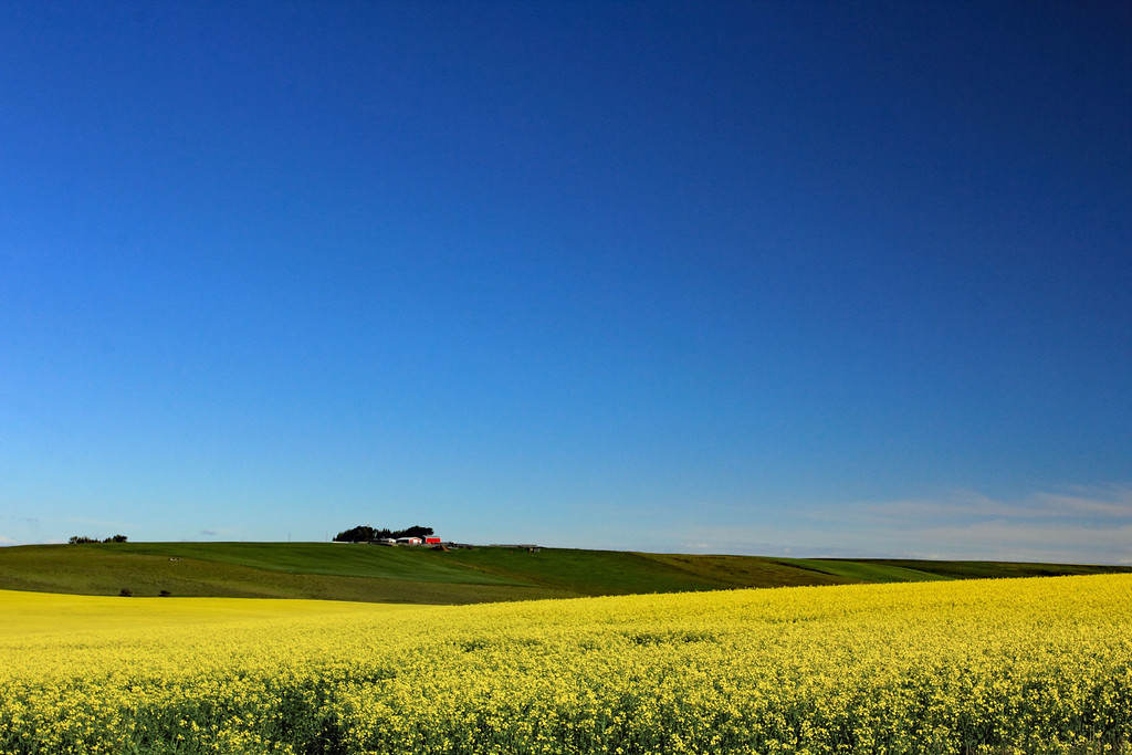West Airdrie Canola