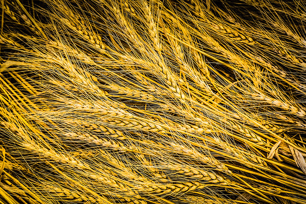 Golden Yellow Wheat