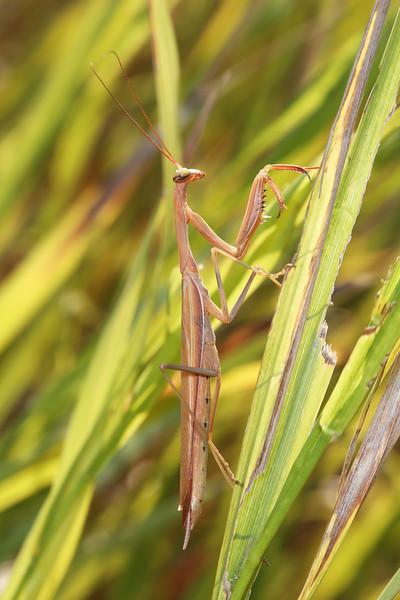 Unidentified Praying Mantis (Mantinae)