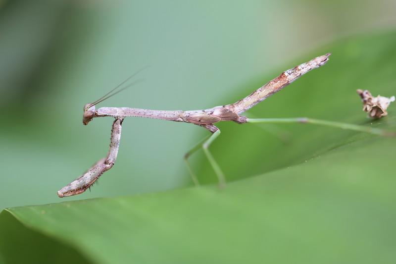 Unidentified Praying Mantis (Mantodea)