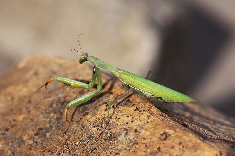 Unidentified Praying Mantis (Matodea)