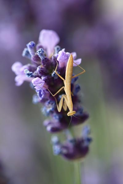 Praying Mantis Nymph (Mantodea)