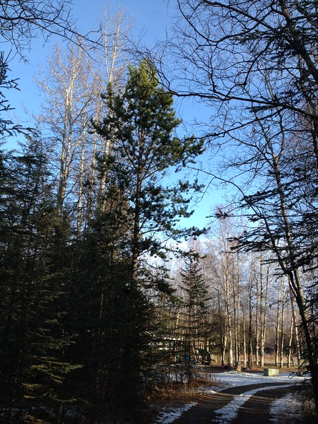 Lodgepole pine planted pre 1980 at 712 N. Strawberry Road.  Next to the driveway it gets plenty of sun.