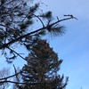 The scotch pine is scraggly. View looking up.