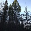 A beautiful lodgepole reaching for the sky along the firebreak.