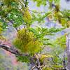 false mistletoe
