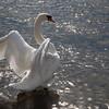 Swan in Bibury (Cotswolds)