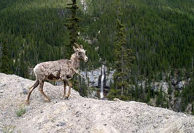 Mountain Goat, Alberta, Canada
