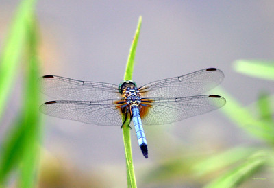 Blue Dasher Dragonfly  ---  Most Popular Photo