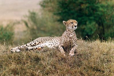 Cheetah  (lighter)