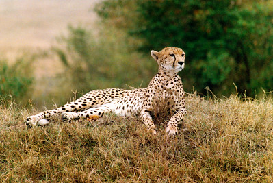 Cheetah  (Brighter)