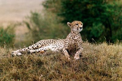 Cheetah  (darker)