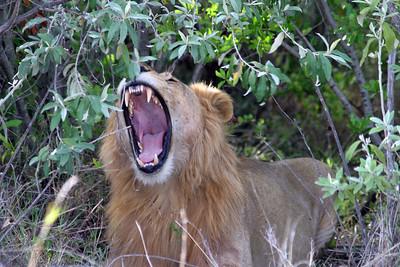 In the Masai Mara Game Reserve, Kenya
