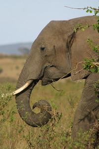African Elephant in the Masai Mara Game Reserve, Kenya, November 17, 2005
