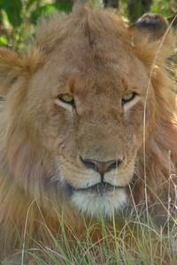 Lion In the Masai Mara Game Reserve, Kenya, November 17, 2005