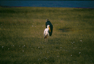 Yellow-billed Stork & Vulture