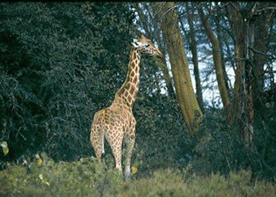 Southern Kenyan Giraffe