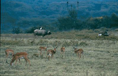 Gazelle and Water Buffalo