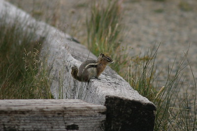Chipmunk at Boreas Pass on my drive up Boreas Pass Road south of Breckenridge, CO, August 27, 2005