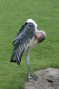 Maribou Stork at Indianapolis Zoo, Indianapolis, Indiana, July 17, 2005