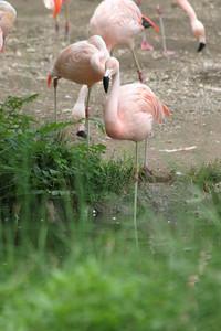 Chilean Flamingo at Indianapolis Zoo, Indianapolis, Indiana, July 17, 2005