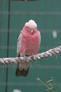 Galah OR Rose-breasted Cockatoo OR Pink & Gray Cockatoo