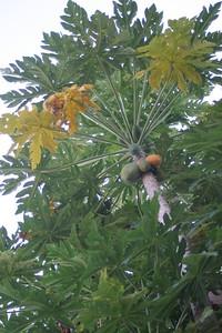 Papaya or PawPaw tree in Musoma, Tanzania on afternoon of November 15, 2005.