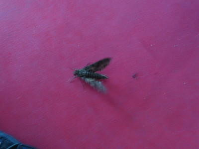 Black Fly on Boat to Tefe