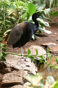 Grey-winged Trumpeter at St-Louis-Zoo, June 13, 2005.