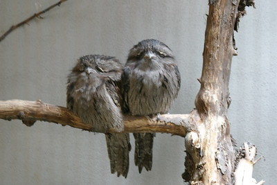 Tawny Frogmouth at St-Louis-Zoo, June 13, 2005.