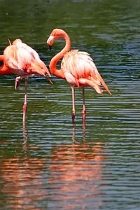 Flamingo at St-Louis-Zoo, June 13, 2005.