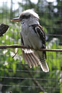 Laughing Kookaburra at St-Louis-Zoo, June 13, 2005.