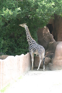 Riticulated Giraffe at St-Louis-Zoo, June 13, 2005.