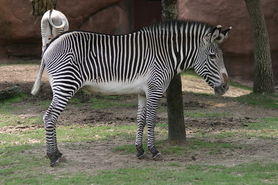 Grevy's Zebra at St-Louis-Zoo, June 13, 2005.
