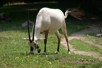 Arabian Oryx at St-Louis-Zoo, June 13, 2005.
