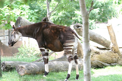Okapi at St-Louis-Zoo, June 13, 2005.