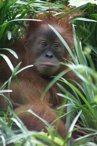 Orangutan with baby at St-Louis-Zoo, June 13, 2005.