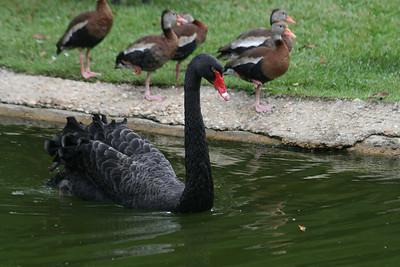 Black-necked Swan & Black-bellied Whistling Ducks