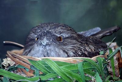 Some kind of Nighthawk, Pauraque, or Nightjar