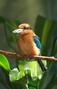 Guam Micronesian Kingfisher