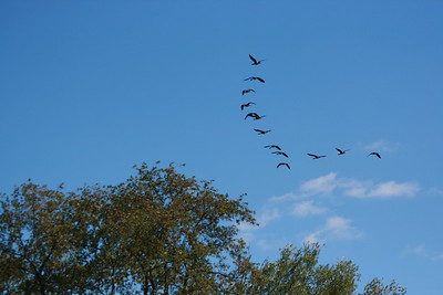 Canadian Geese, Volo Bog State Natural Area