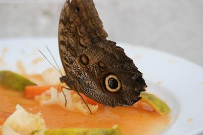 Almond-eyed Owl-Butterfly