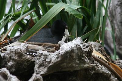 American Coot nesting
