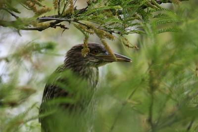 Black-crowned Night-Heron immature